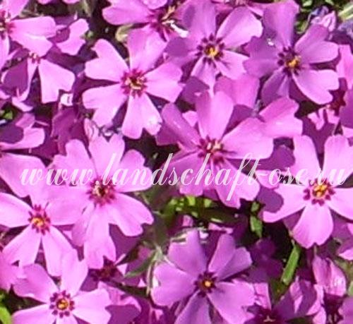 Семейство синюховые polemoniaceae